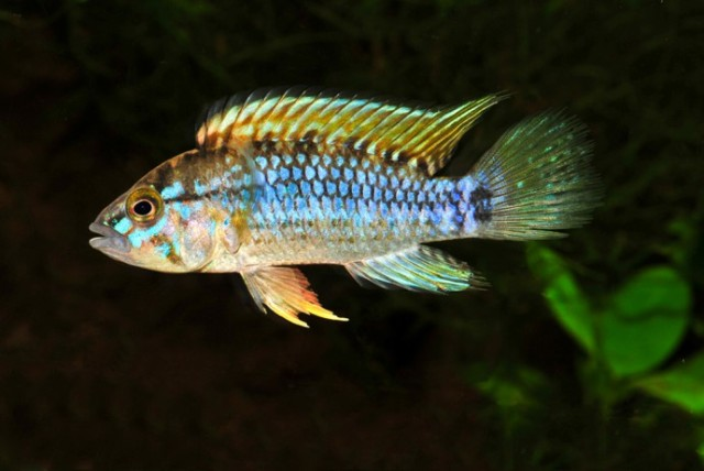 dwarf cichlid tropical fish aquarium fish south american cichlids ...