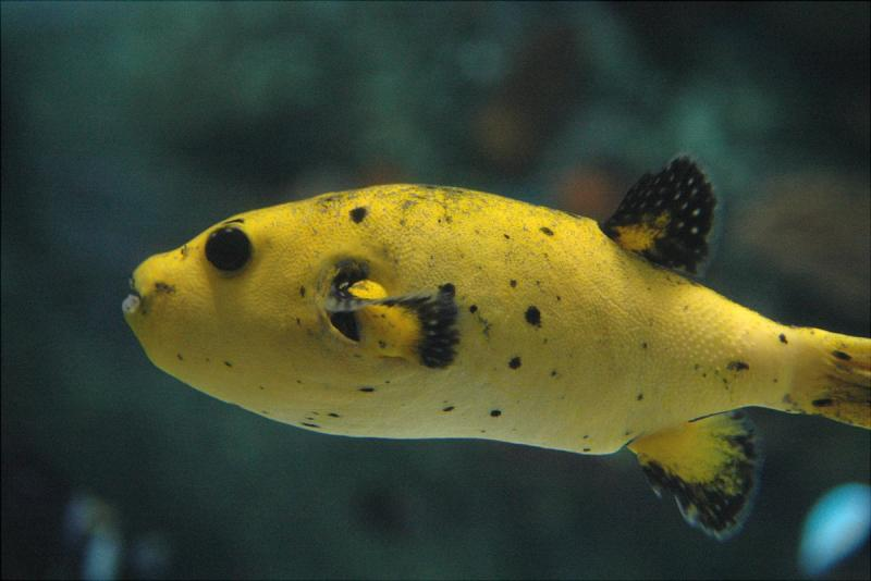 Tropical fish gallery tropical fish are fun for Dog face puffer fish